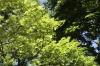 初夏の新緑。キーライム