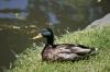 緑の頭をした鴨